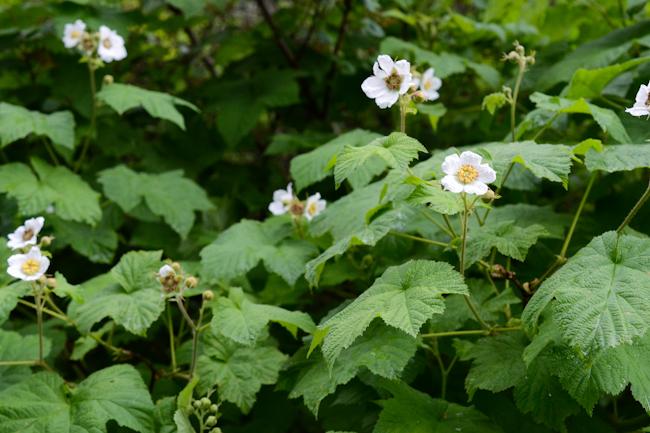thimbleberry // Wayward Spark