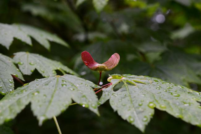 vine maple samara // Wayward Spark