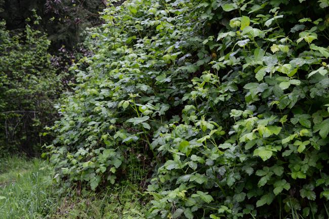 blackberry canes // Wayward Spark
