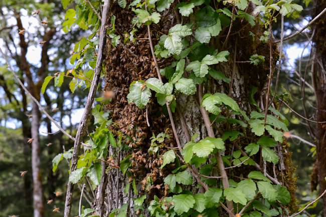 honeybee swarm in a tangle of poison-oak // Wayward Spark