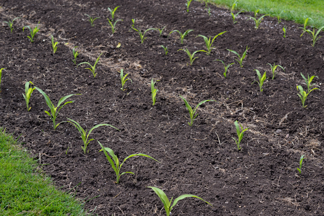 corn plants at Oven & Earth Farm // Wayward Spark