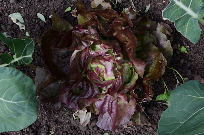 red butter lettuce at Oven & Earth Farm // Wayward Spark