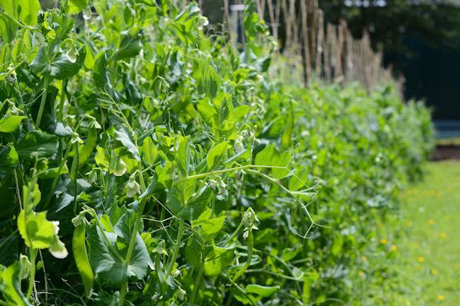 peas at Oven & Earth Farm // Wayward Spark