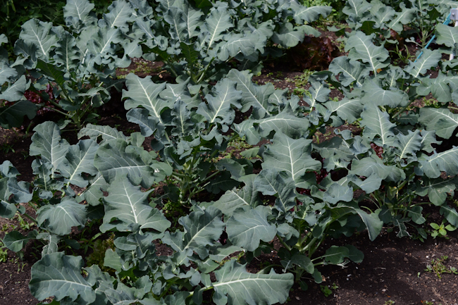 broccoli at Oven & Earth Farm // Wayward Spark