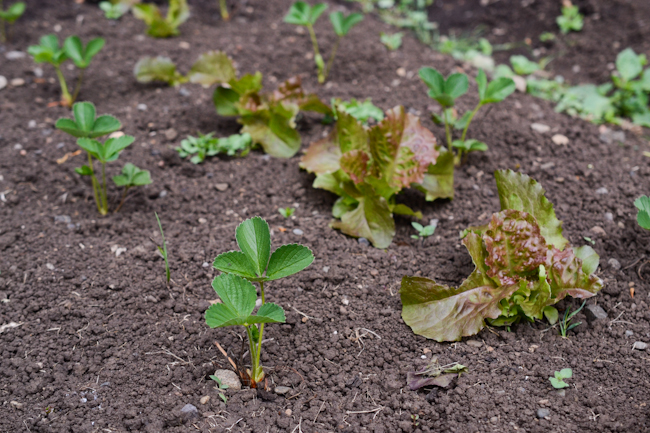 strawberry plants and lettuce at Oven & Earth Farm // Wayward Spark