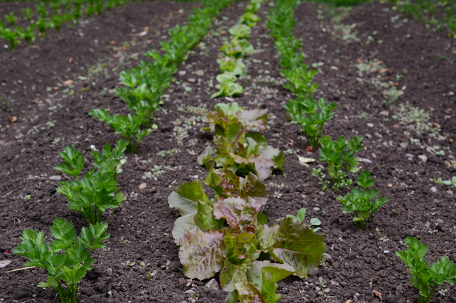parsley and lettuce at Oven & Earth Farm // Wayward Spark