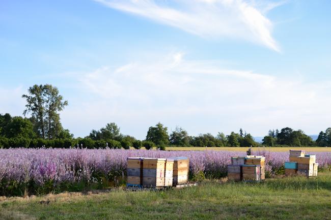clary sage honeybee pollination // Wayward Spark