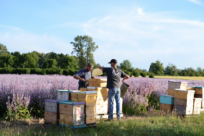 clary sage honeybee pollination with Old Blue Raw Honey // Wayward Spark