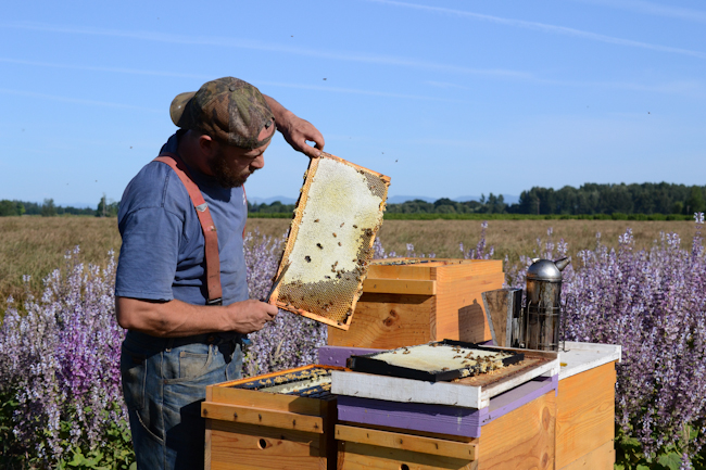 pulling frames of clary sage honey with Old Blue Raw Honey // Wayward Spark
