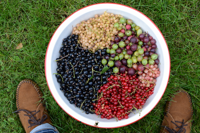gooseberries and currants // Wayward Spark