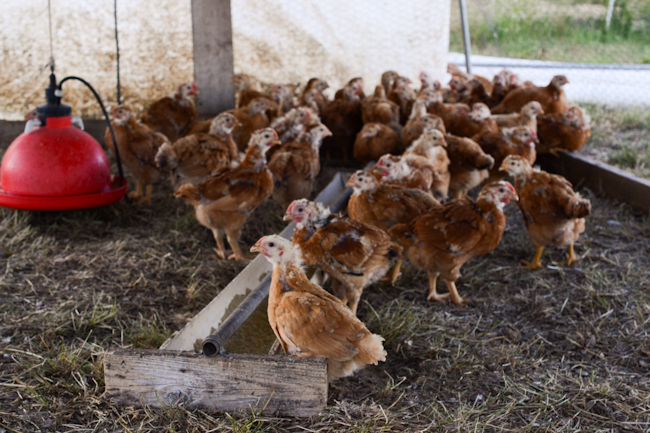 Red Ranger chickens at Gathering Together Farm // Wayward Spark