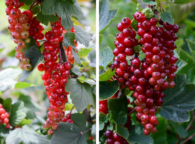 red currants // Wayward Spark