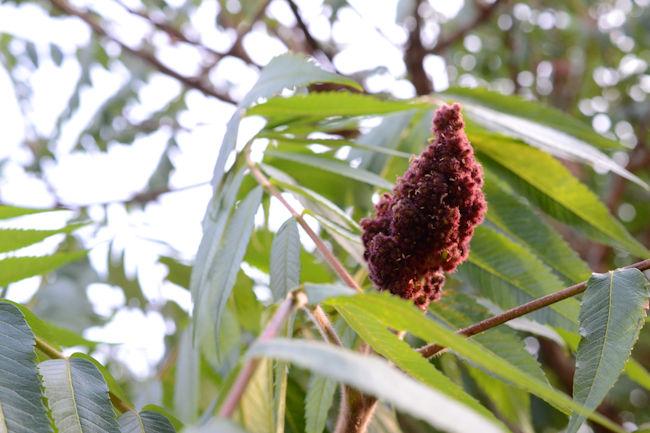 harvesting and processing wild staghorn sumac // Wayward Spark