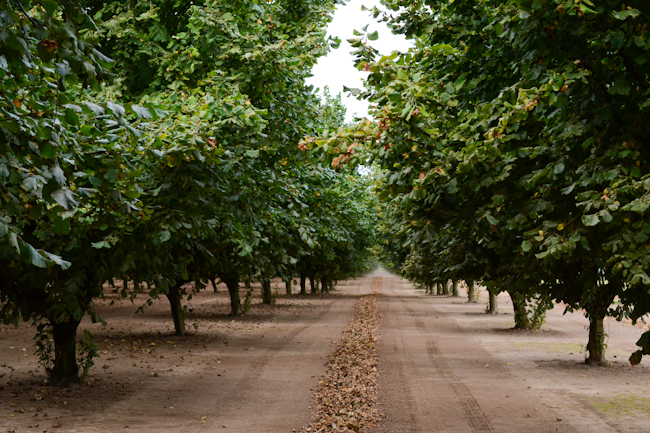 Oregon hazelnut harvest // Wayward Spark
