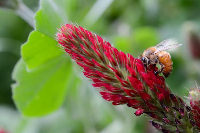 honeybee on crimson clover // Wayward Spark