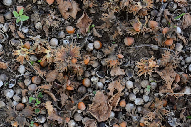 hazelnuts on the ground at the National Clonal Germplasm Repository's world collection of hazelnuts // Wayward Spark