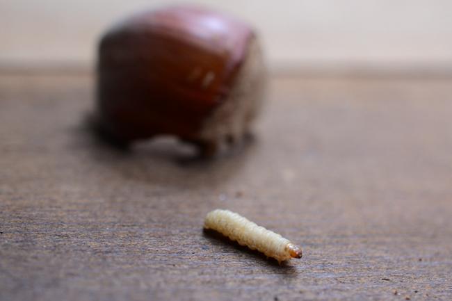 filbert worm