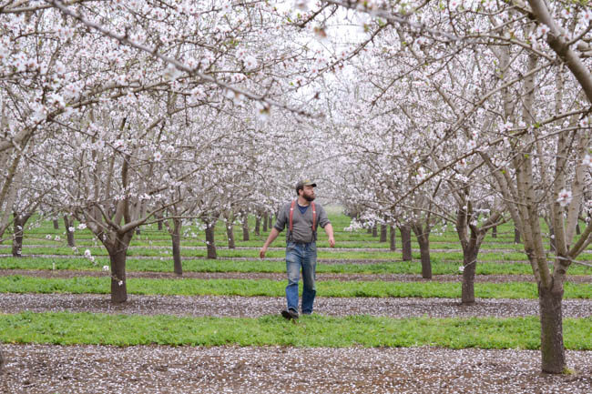 Henry Storch of Old Blue Raw Honey in a blooming almond orchard