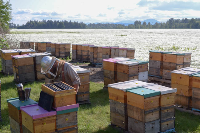 Old Blue Raw Honey hives on meadowfoam