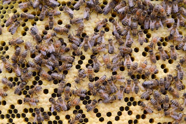 Old Blue Raw Honey honeybees